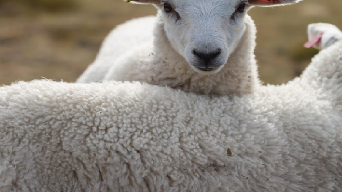 羊(ウール)の写真